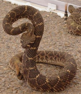 The Western Diamondback Rattlesnake